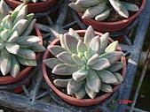 多肉植物-08年-石蓮:T-S-棒狀石蓮.JPG