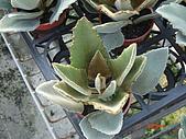 多肉植物-08年-夏季植物:TT-玫葉兔耳.JPG