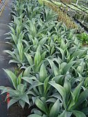 多肉植物-08年-母棵中苗:M6-TT-龍舌蘭(大量).JPG