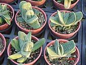 多肉植物-08年-夏季植物:TT-DN-磯松錦.JPG