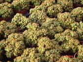多肉植物-08年-夏季植物:TT-金毛獅子(軟刺).JPG