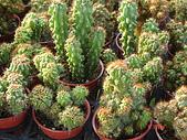多肉植物-08年-夏季植物:TT-金毛獅子(硬刺大型).JPG