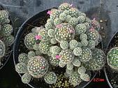 多肉植物-08年-母棵中苗:M6-TT-O-F-銀手球.JPG