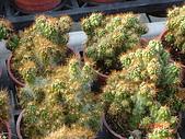 多肉植物-08年-夏季植物:TT-金毛獅子(硬刺小型).JPG