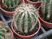 多肉植物-08年-仙人掌:TT-O-白城.JPG