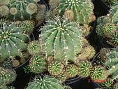 多肉植物-08年-母棵中苗:M6-TT-O-八卦紅(短刺).JPG