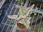 多肉植物-08年-夏季植物:TT-仙人扇.JPG