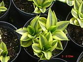 多肉植物-08年-母棵中苗:M6-TT-金邊短尾虎尾蘭.JPG