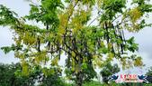 大安森林公園~黃金雨:大安森林公園~黃金雨 (6).jpg