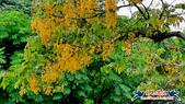 大安森林公園~黃金雨:大安森林公園~黃金雨 (19).jpg