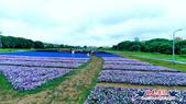 古亭河濱公園·六色香堇菜地毯花海:古亭河濱公園·六色香堇菜地毯花海 (3).jpg