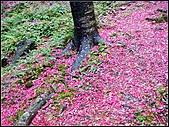 耳空龜山:天道院櫻花 (15).jpg