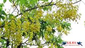 大安森林公園~黃金雨:大安森林公園~黃金雨 (7).jpg