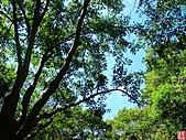 石門水庫楓桐步道:石門水庫、小粗坑桐花步道 (3).jpg