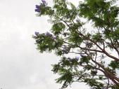 藍花楹:藍花楹與鳳凰花 (6).jpg