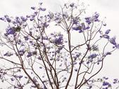 藍花楹:藍花楹與鳳凰花 (7).jpg