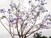 藍花楹:藍花楹與鳳凰花 (13).jpg