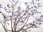 藍花楹:藍花楹與鳳凰花 (14).jpg