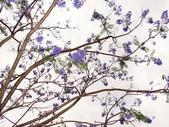 藍花楹:藍花楹與鳳凰花 (15).jpg