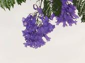 藍花楹:藍花楹與鳳凰花 (17).jpg
