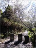 太平山山毛櫸鐵杉林:太平山山毛櫸鐵杉林 (8).jpg