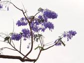 藍花楹:藍花楹與鳳凰花 (19).jpg