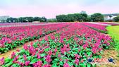 古亭河濱公園·六色香堇菜地毯花海:古亭河濱公園·六色香堇菜地毯花海 (1).jpg