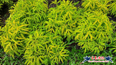 大安森林公園~黃金雨:大安森林公園~黃金雨 (3).jpg