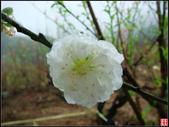 貓空杏花林石龜:貓空杏花林石龜 (9).jpg