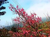 陽明山櫻花海芋:陽明山海芋櫻花 (3).jpg